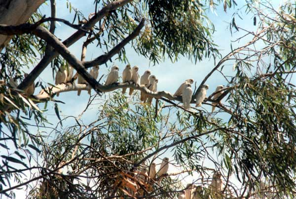 White-Cockatoos-01f.jpg