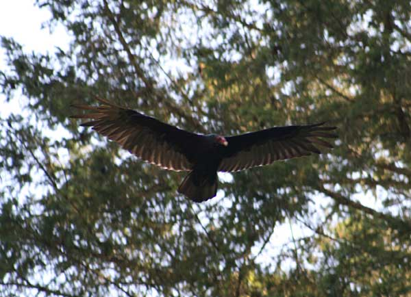 turkey-vulture-01.jpg