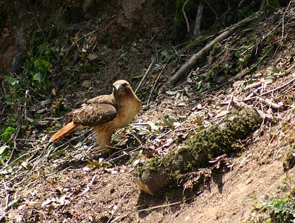 Red-Tailed-Hawk-02.jpg