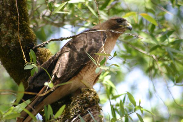 Red-Tailed-Hawk-01.jpg