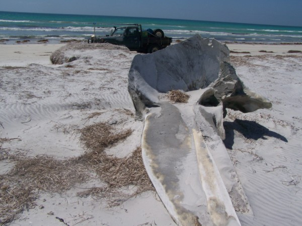 whale skull at wattle camp.jpg